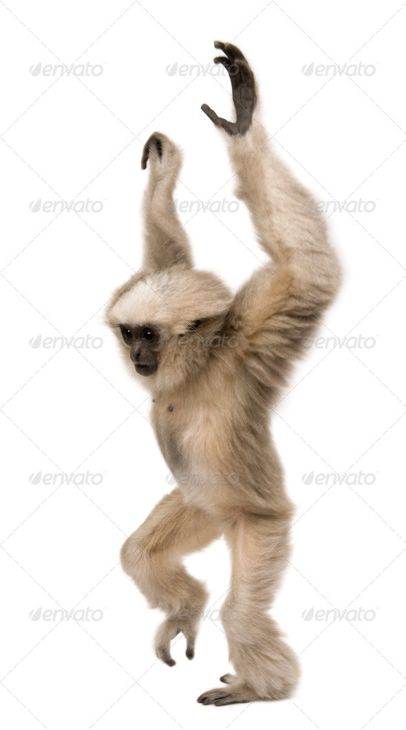 Young Pileated Gibbon, 4 months old, standing with arms up in front of white background - Stock Photo - Images