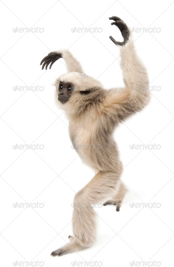 Young Pileated Gibbon, 1 year old, Hylobates Pileatus, walking in front of white background - Stock Photo - Images