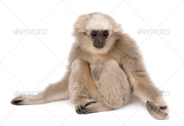 Young Pileated Gibbon, 4 months old, sitting with arms out in front of white background - Stock Photo - Images