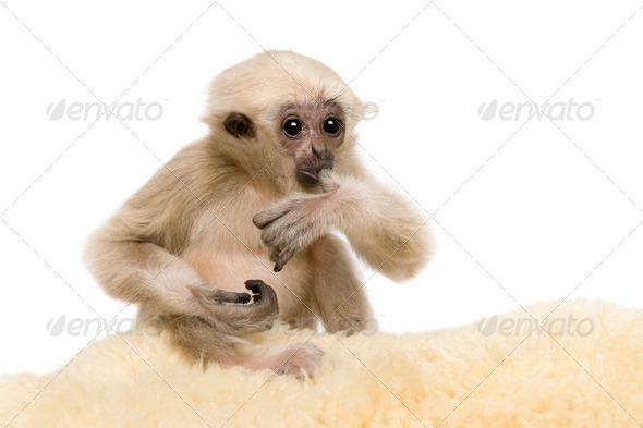 Young Pileated Gibbon, 4 months old, Hylobates Pileatus, on rug in front of white background - Stock Photo - Images