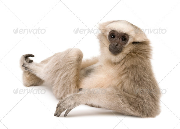 Young Pileated Gibbon, 4 months old, sitting looking over shoulder in front of white background - Stock Photo - Images