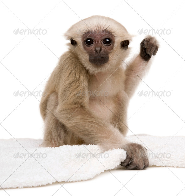 Young Pileated Gibbon, 1 year old, Hylobates Pileatus, sitting with rug in front of white background - Stock Photo - Images