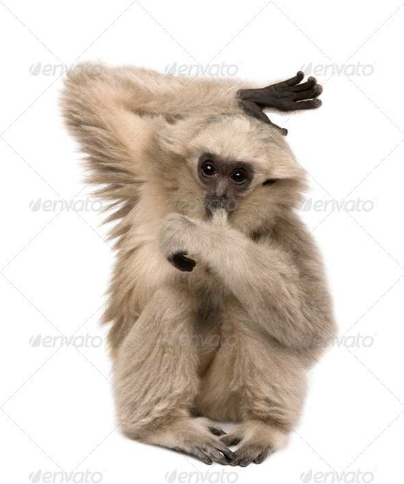 Young Pileated Gibbon, 4 months old, sitting with arm raised in front of white background - Stock Photo - Images