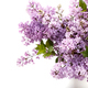 Spring lilac flowers - PhotoDune Item for Sale