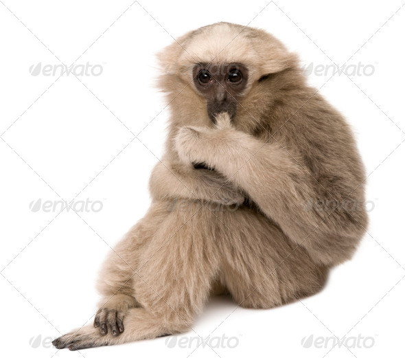 Young Pileated Gibbon, 4 months old, sitting in front of white background - Stock Photo - Images