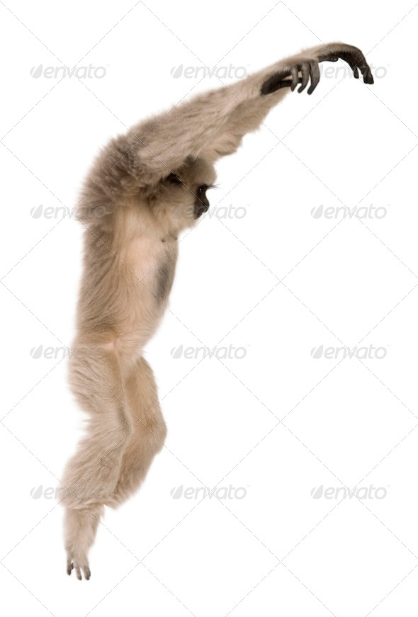 Young Pileated Gibbon, Hylobates Pileatus, 1 year old, leaping in front of white background - Stock Photo - Images