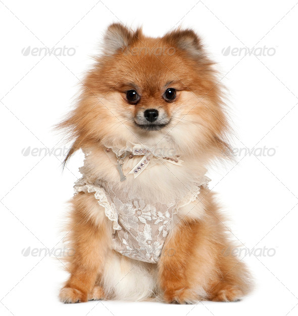 German Spitz dressed in lace, 15 months old, sitting in front of white background - Stock Photo - Images
