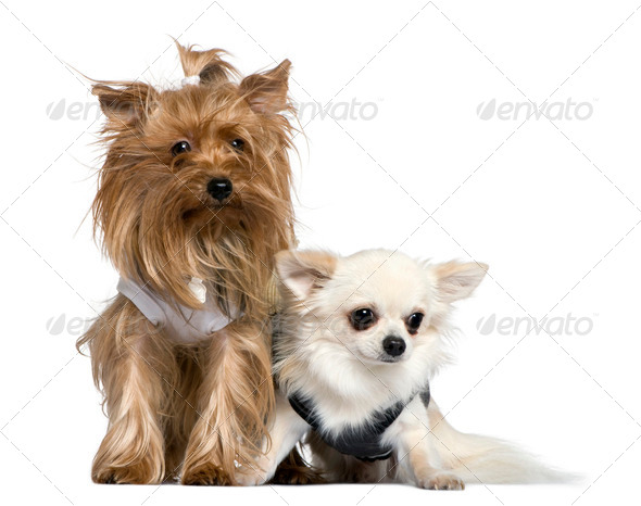 Yorkshire Terrier and Chihuahua, 3 years and 18 months old, sitting in front of white background - Stock Photo - Images