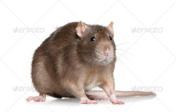 Rat, 1 year old, in front of white background - Stock Photo - Images