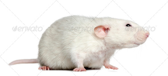 Side view of rat, 1 year old, in front of white background - Stock Photo - Images