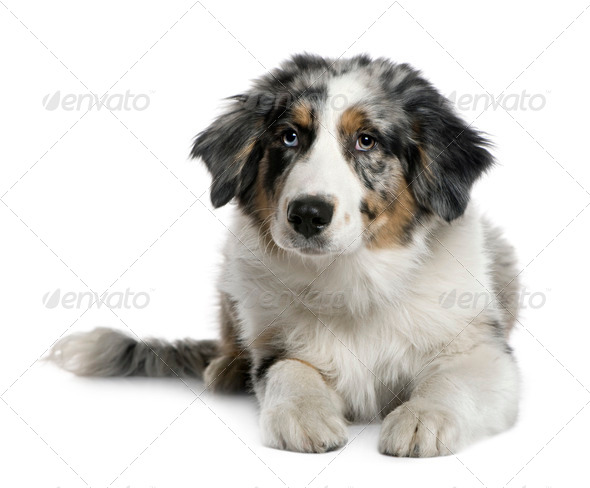 Australian Shepherd puppy, 4 months old, in front of white background - Stock Photo - Images