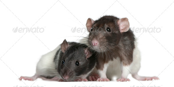 Rats, 9 and 3 months old, in front of white background - Stock Photo - Images