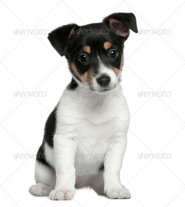 Jack Russell Terrier puppy, 2 months old, sitting in front of white background - Stock Photo - Images