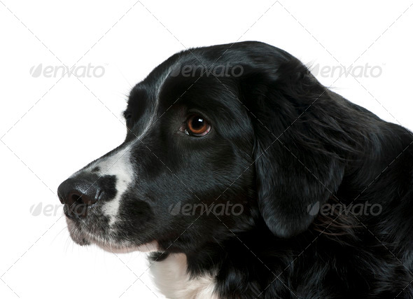 Close-up side view of Border Collie, 2 years old, in front of white background - Stock Photo - Images