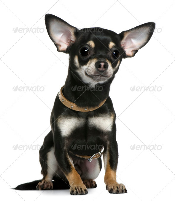 Chihuahua wearing collar, 1 year old, sitting in front of white background - Stock Photo - Images