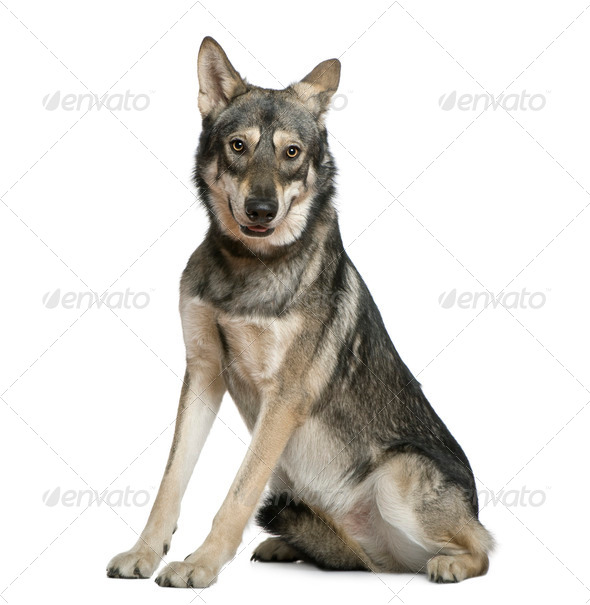 Saarlooswolfhond, 18 months old, sitting in front of white background - Stock Photo - Images