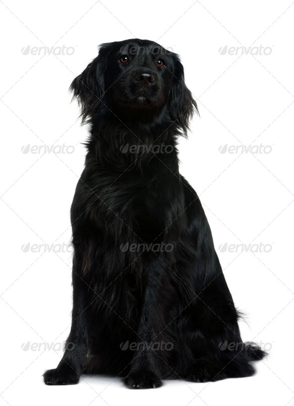 Terre neuve dog, 3 years old, sitting in front of white background - Stock Photo - Images