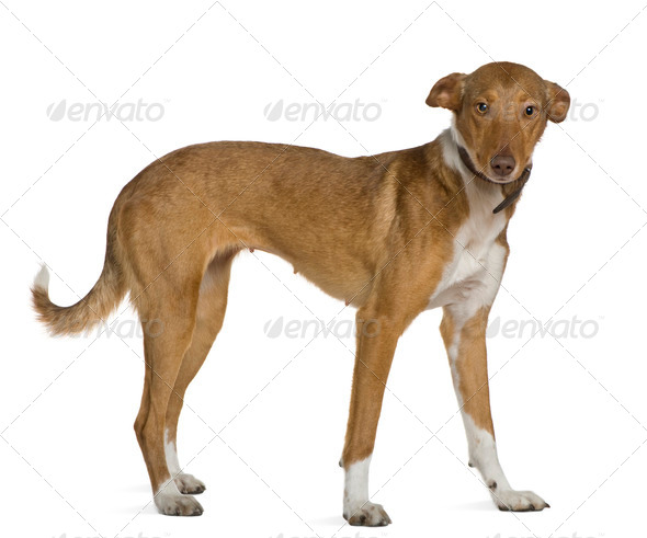 Podenco Andalou dog, 2 years old, standing in front of white background - Stock Photo - Images