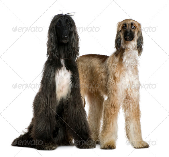 Two Afghan hounds, 1 and 2 years old, in front of white background - Stock Photo - Images