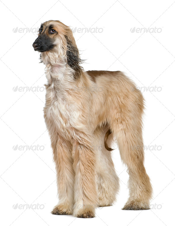 Afghan hound with his hair in the wind, 1 year old, in front of white background - Stock Photo - Images