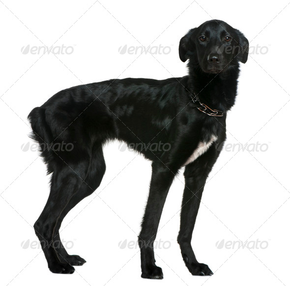 Mixed breed dog, 1 and a half years old, standing in front of white background - Stock Photo - Images