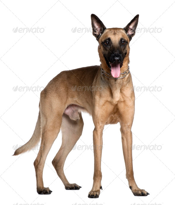 Berger Malinois, 3 years old, standing in front of white background - Stock Photo - Images