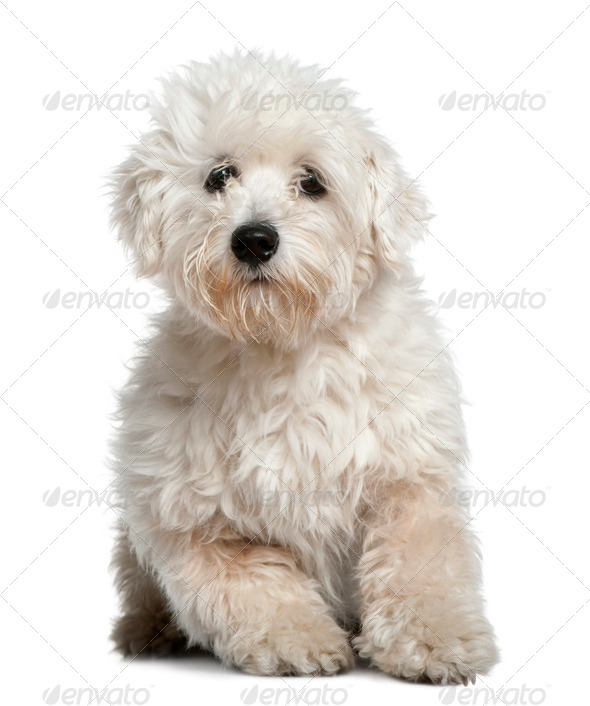 Maltese, 11 months old, sitting in front of white background - Stock Photo - Images