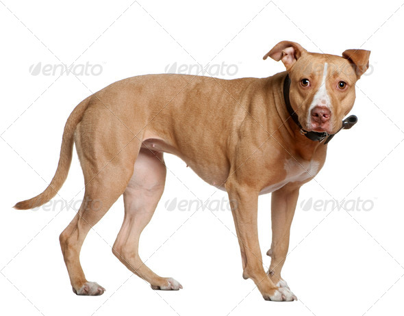 American Staffordshire Terrier, 3 years old, standing in front of white background - Stock Photo - Images