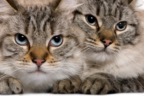 Close-up of Balinese cats, 2 years old - Stock Photo - Images