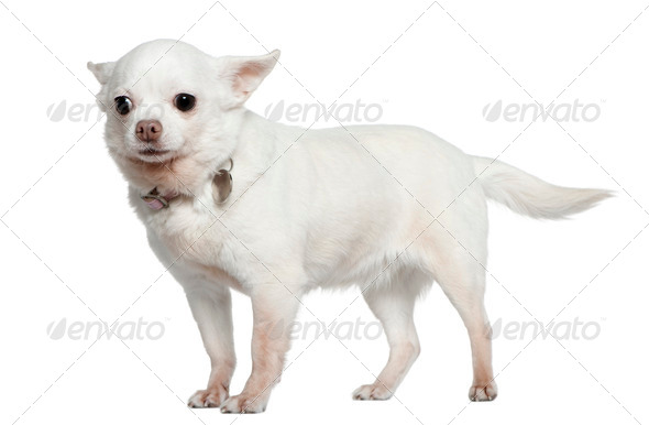 Chihuahua, 9 years old, standing in front of white background - Stock Photo - Images