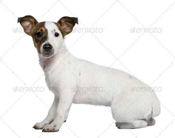 Jack Russell Terrier, 5 months old, in front of white background - Stock Photo - Images