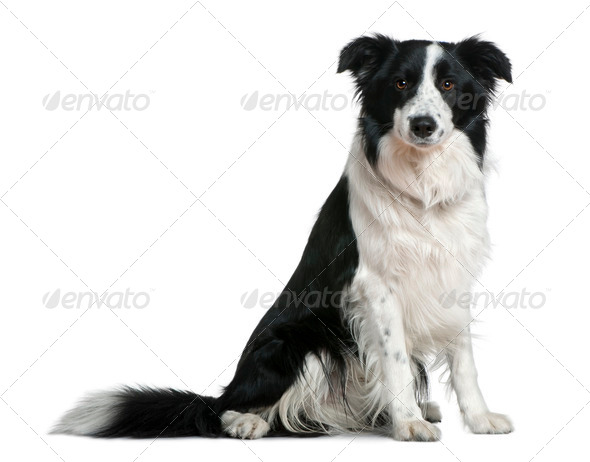 Border Collie, 15 months old, sitting in front of white background - Stock Photo - Images