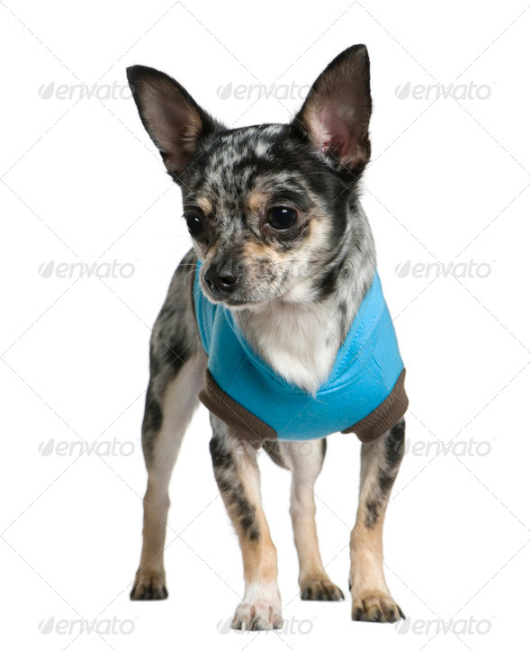 Chihuahua dressed in turquoise, 1 year old, in front of white background - Stock Photo - Images