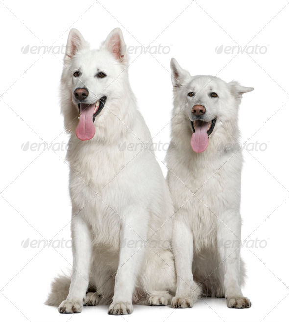Two Swiss Shepherd dogs, 2 and 3 years old, sitting in front of white background - Stock Photo - Images