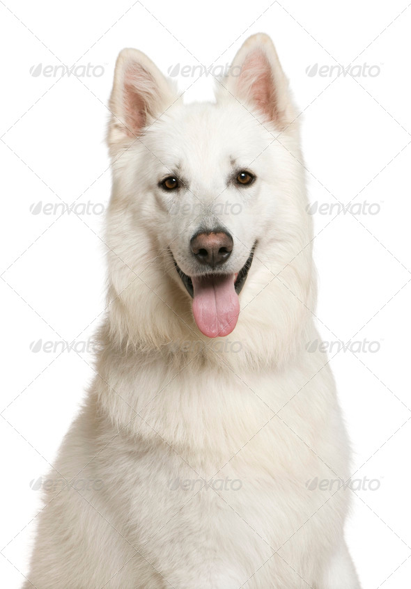 Swiss Shepherd dog, 3 years, in front of white background - Stock Photo - Images