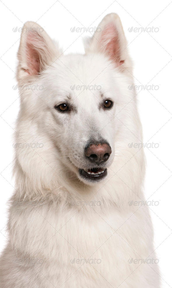 Close-up of Swiss Shepherd dog, 3 years, in front of white background - Stock Photo - Images