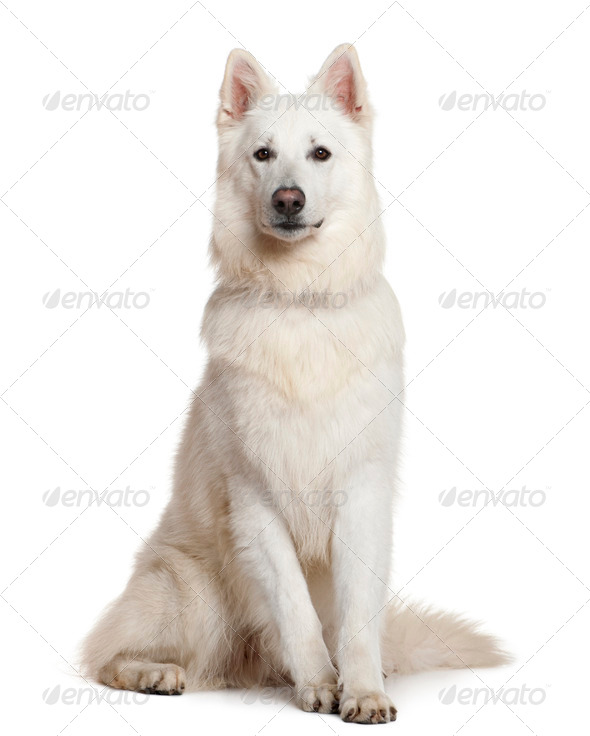 Swiss Shepherd dog, 3 years, sitting in front of white background - Stock Photo - Images