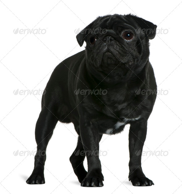 Pug, 1 year old, standing in front of white background - Stock Photo - Images