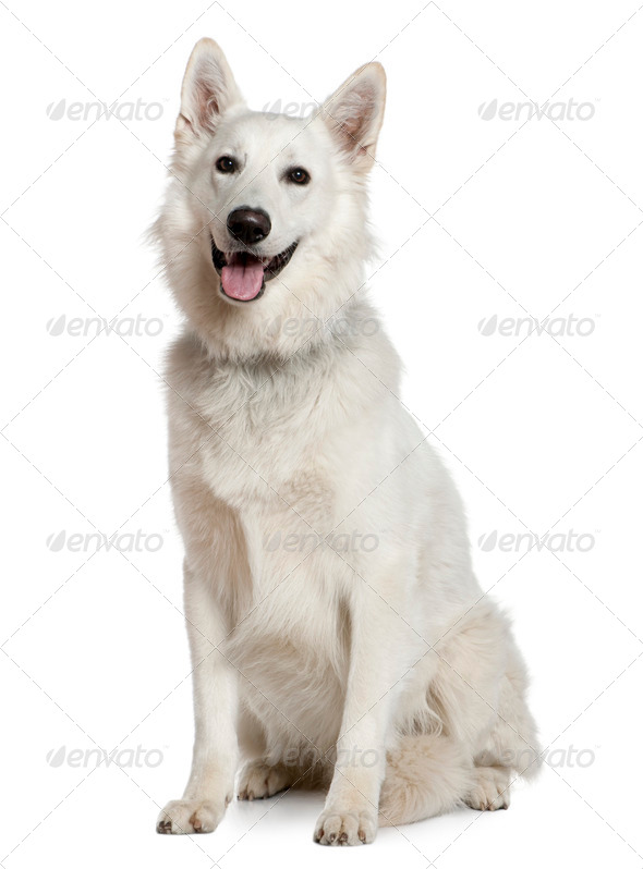 Swiss Shepherd dog, 1 year old, sitting in front of white background - Stock Photo - Images