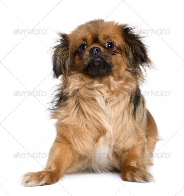 Tibetan spaniel, 4 years old, in front of white background - Stock Photo - Images