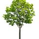 Maple tree - PhotoDune Item for Sale