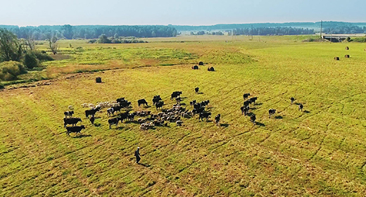Cows and Sheeps Drone Collection
