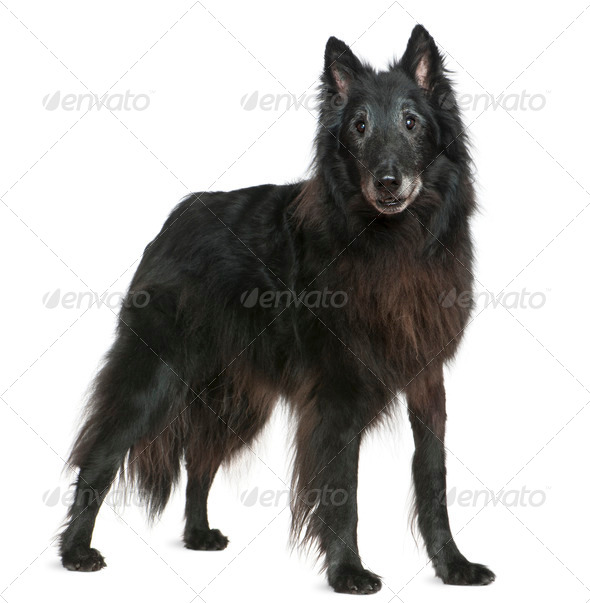 Greenland dog, 14 years old, standing in front of white background - Stock Photo - Images
