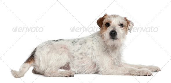 Parson Russell Terrier, 6 and a half years old, lying in front of white background - Stock Photo - Images