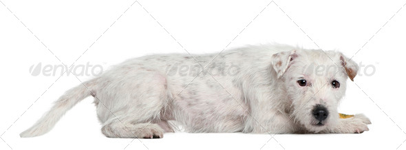 Parson Russell Terrier, 4 years old, lying in front of white background - Stock Photo - Images