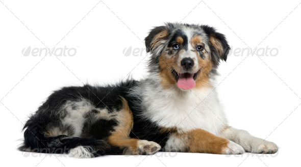 Australian Shepherd dog, 4 months old, in front of white background - Stock Photo - Images