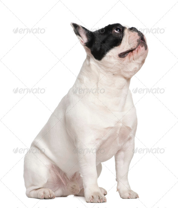 French bulldog sitting on table and looking up, 1 and a half years old, in front of white background - Stock Photo - Images