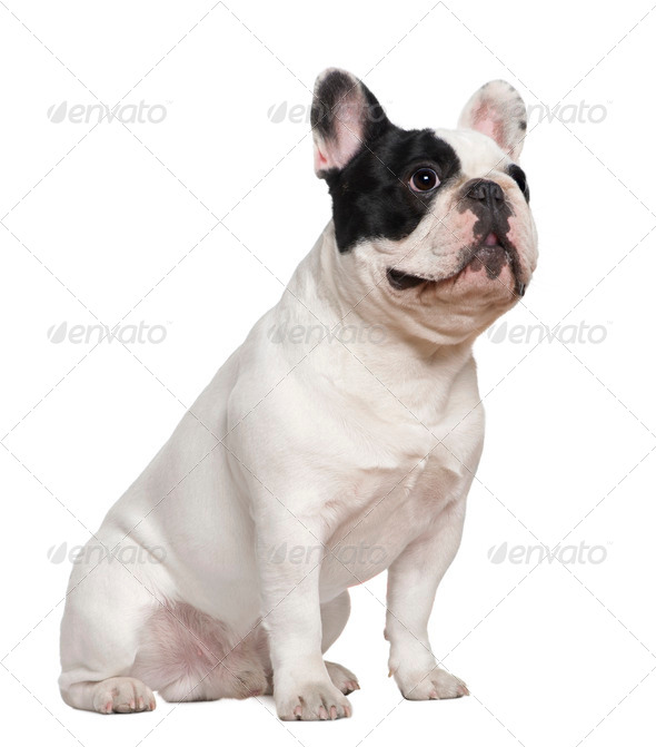 French bulldog sitting on table, 1 and a half years old, in front of white background - Stock Photo - Images