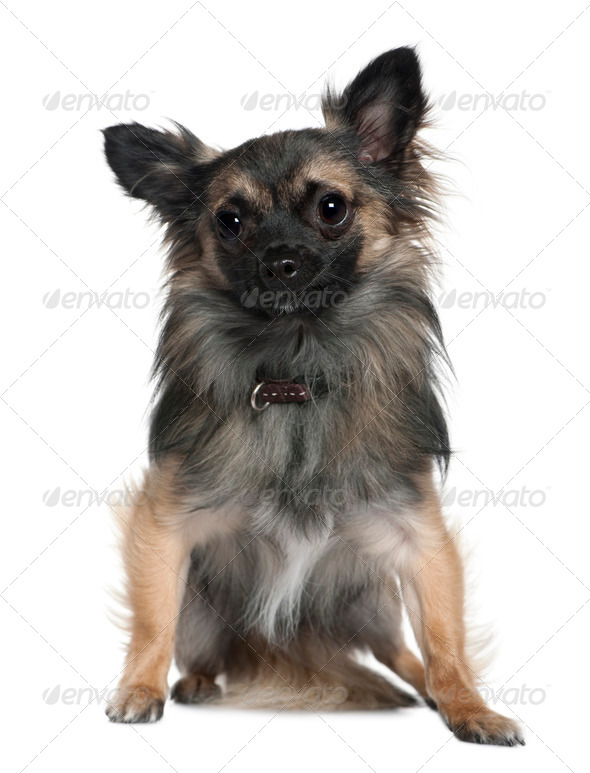 Chihuahua, 2 and a half years old, sitting in front of white background - Stock Photo - Images