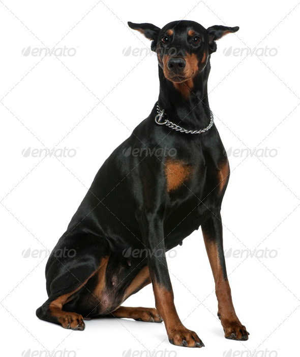 Doberman Pinscher, 7 years old, sitting in front of white background - Stock Photo - Images